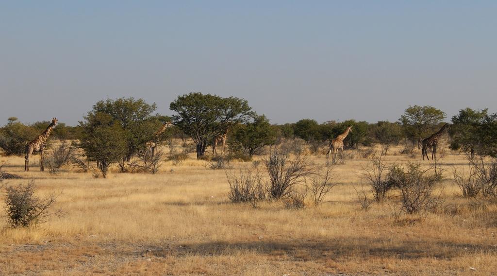 Namibia | Etoshapark, Giraffen