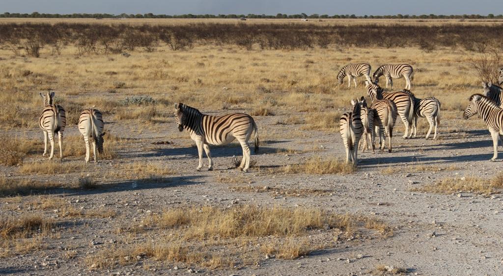 Namibia | Etoschapark, Zebras