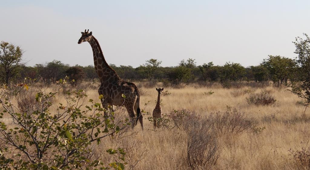 Namibia | Etoschapark Giraffen