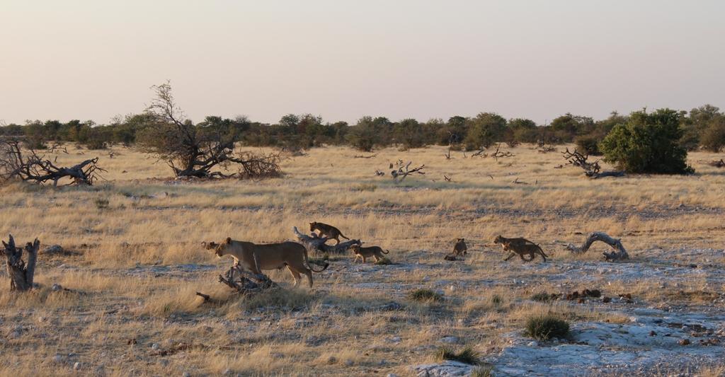 Namibia | Etoschapark, Löwen