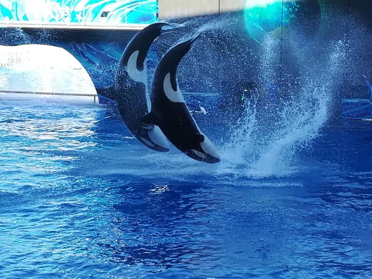Sea World Orlando | Orca Show