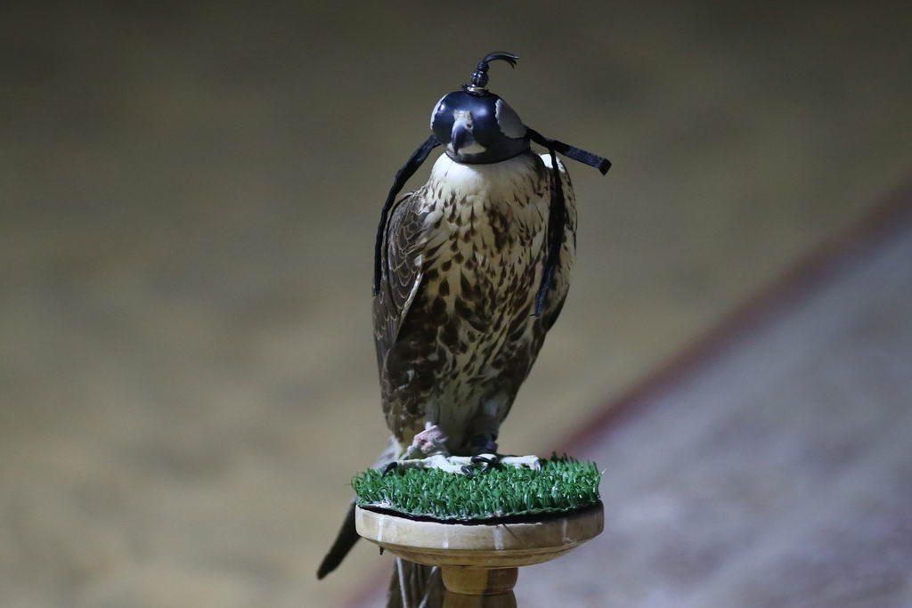 Falken im Wüstencamp vor Abu Dhabi