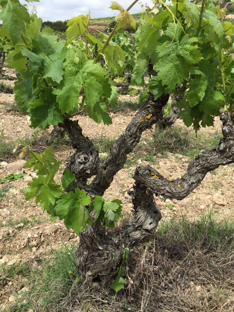 Weinreben entlang des des Río Ebro in Rioja