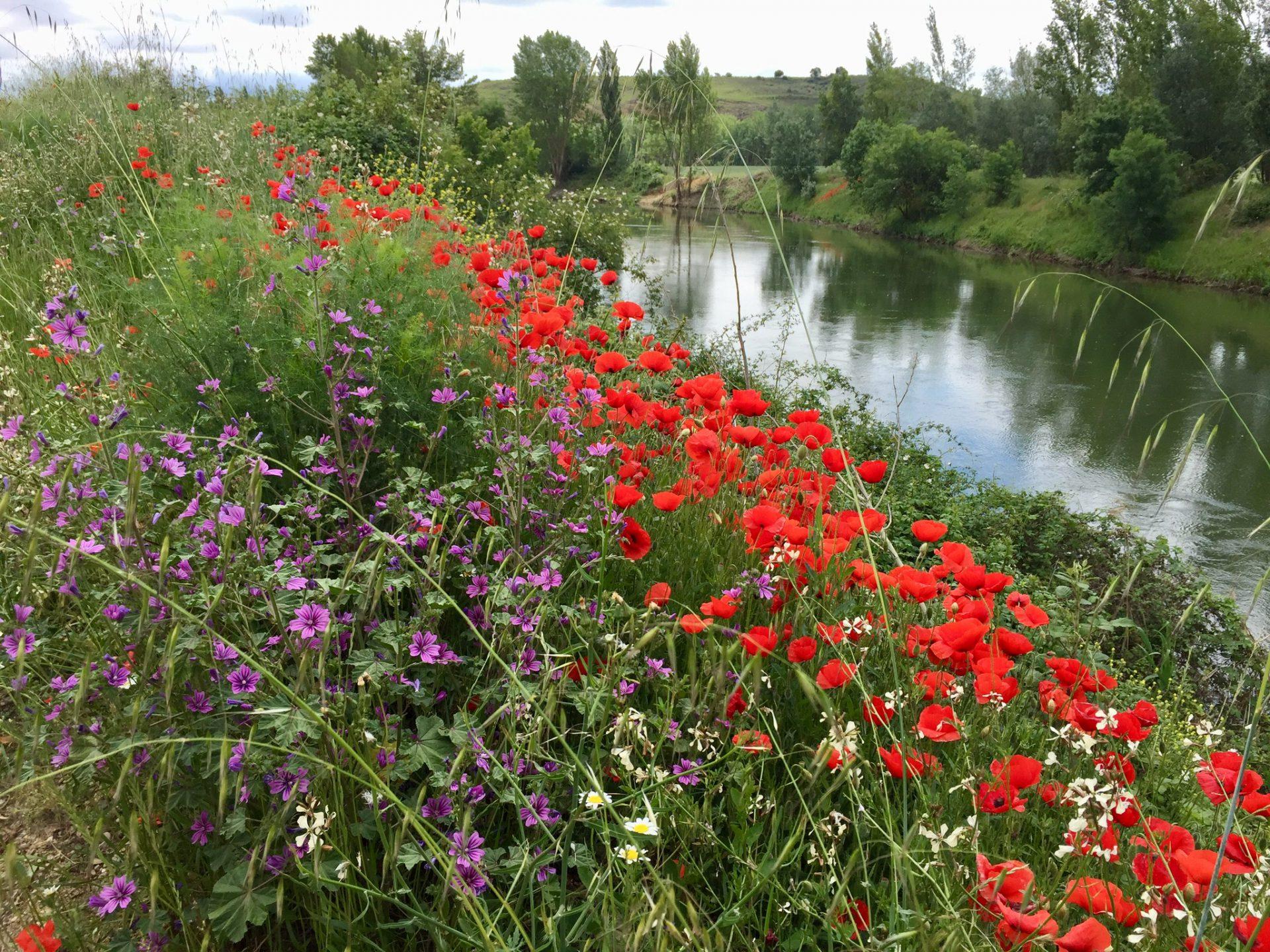 Wunderschöne Blumen entlang des Río Ebro