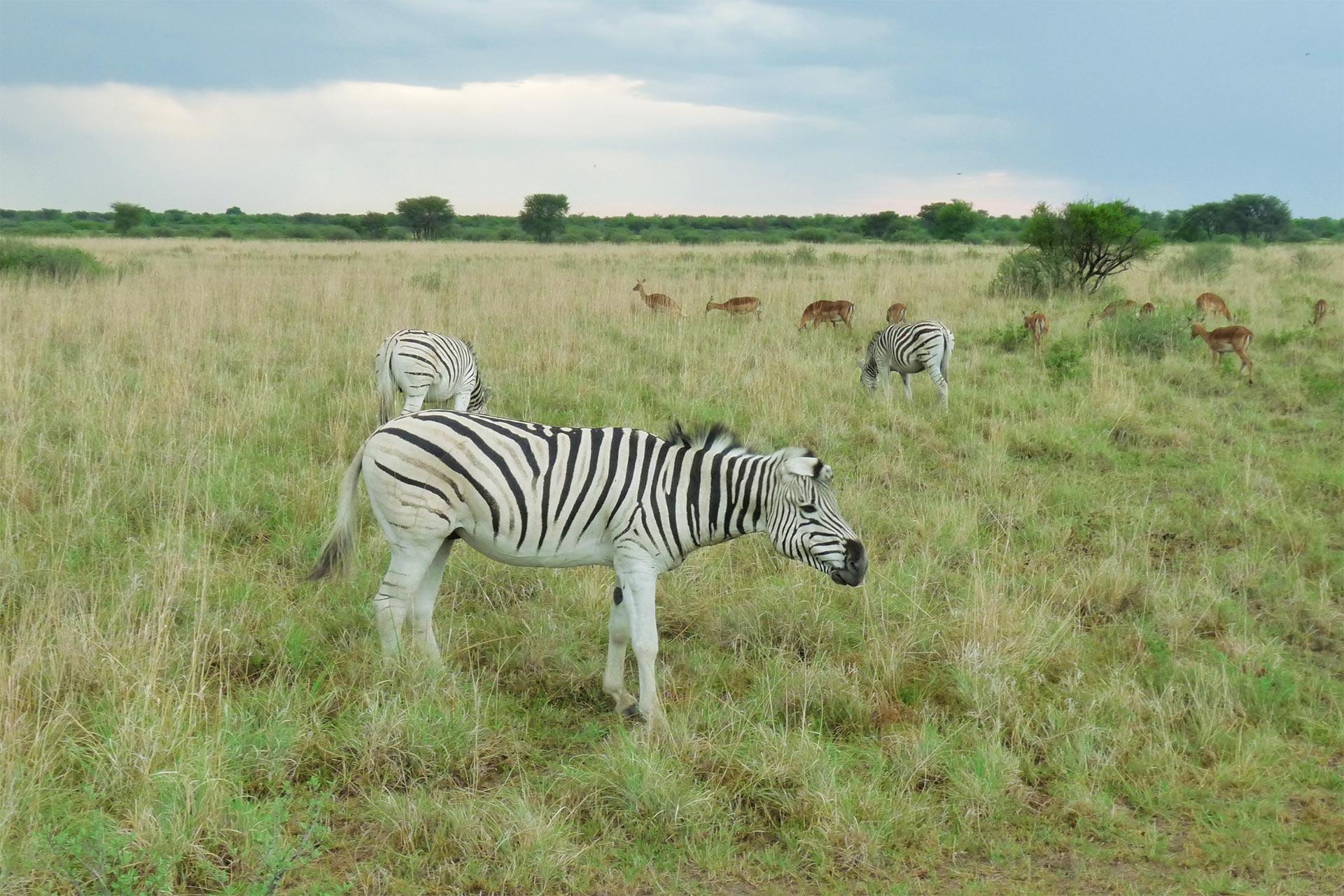 Botswana - Khama Rihno - Zebra