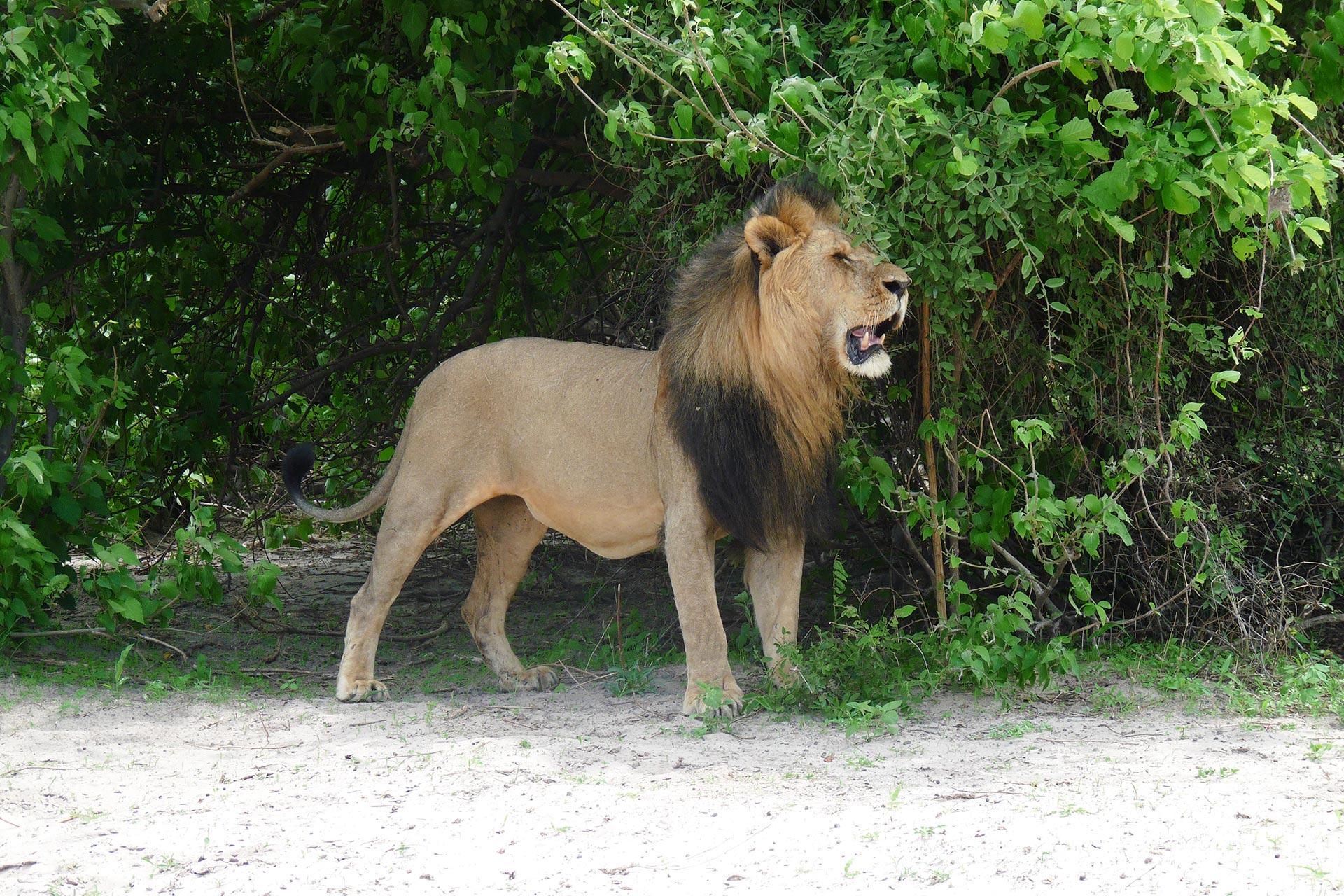 Botswana - Chobe Nationalpark - Löwe
