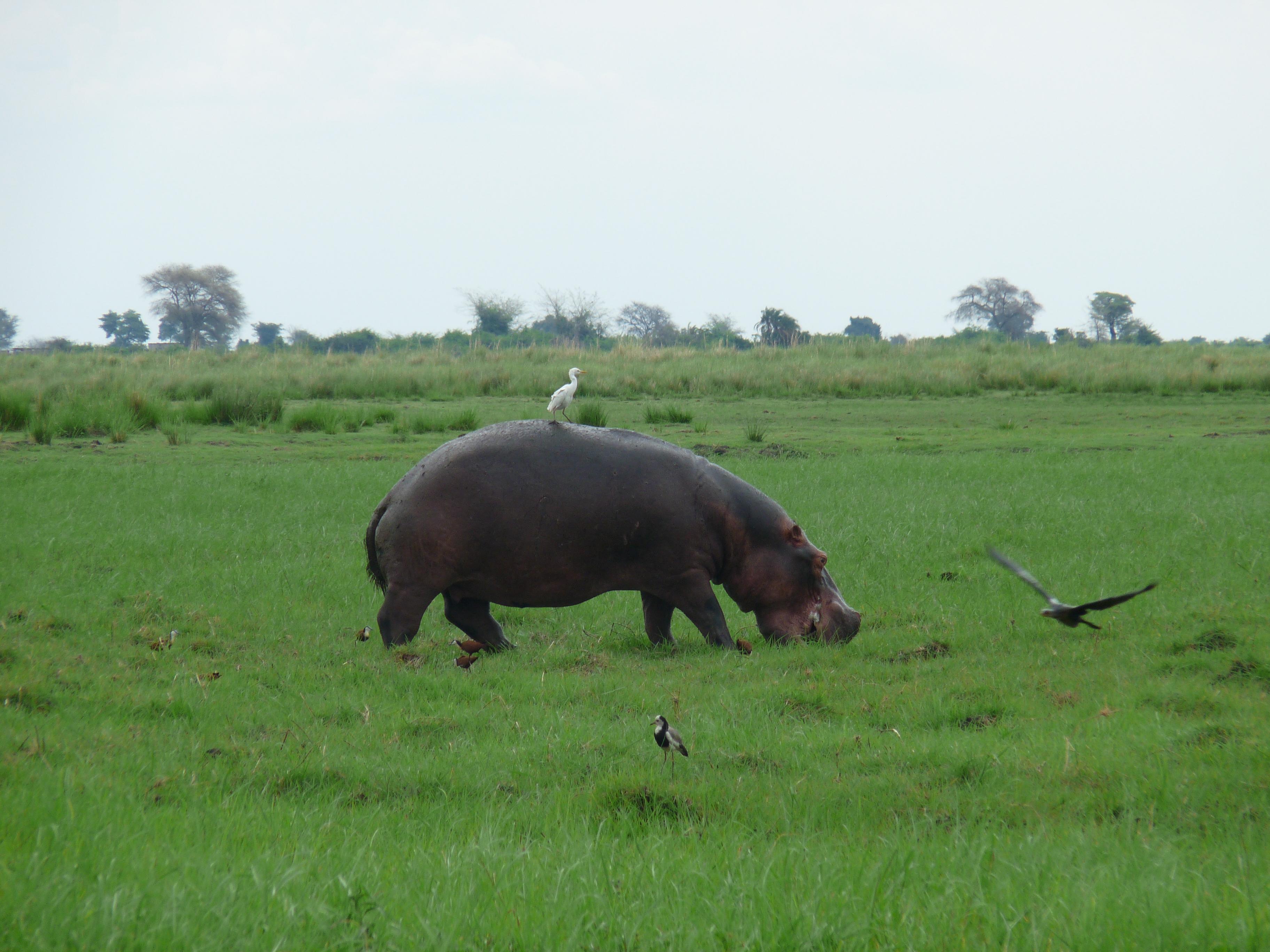 Botswana - Chobe River - Nilpferd