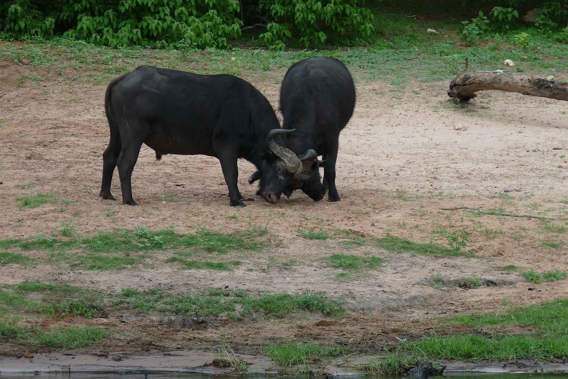 Botswana - Chobe River - Wasserbüffel