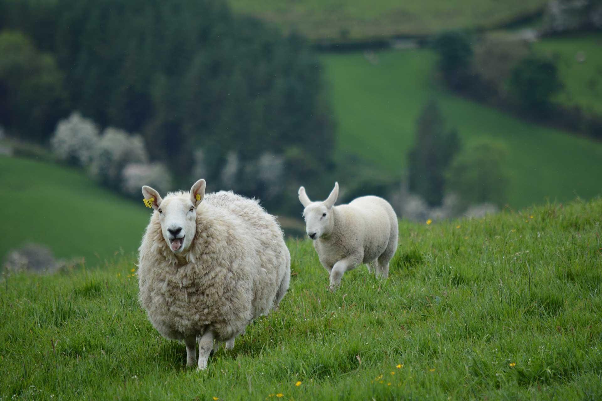 Schafe in Georgien