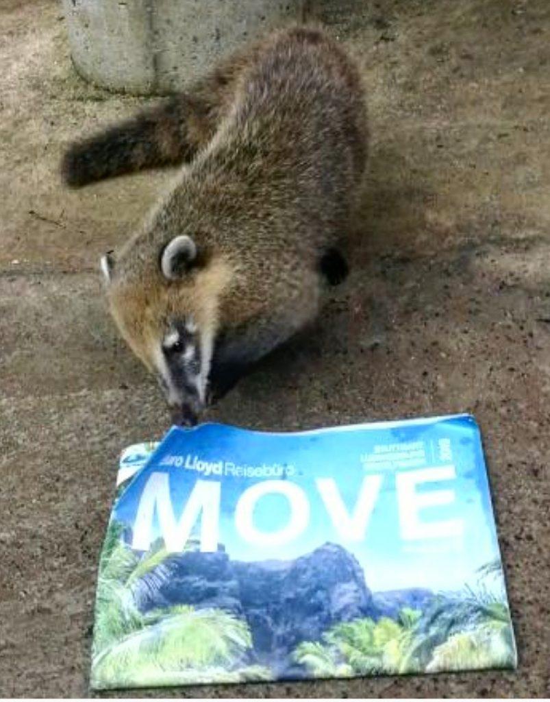 Nasenbär liest die Move