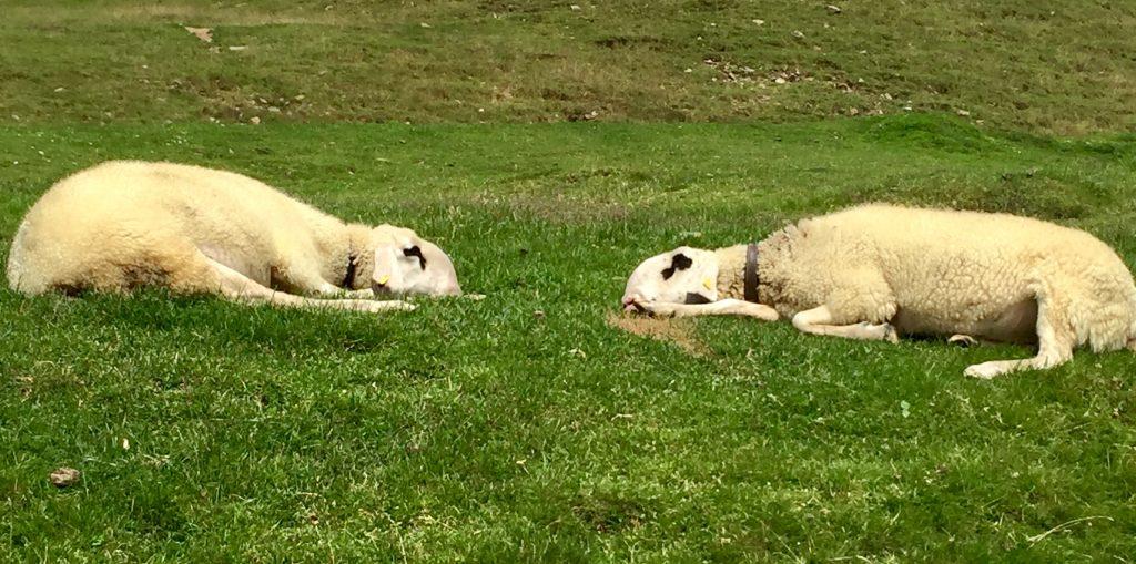 Schlafende Schafe