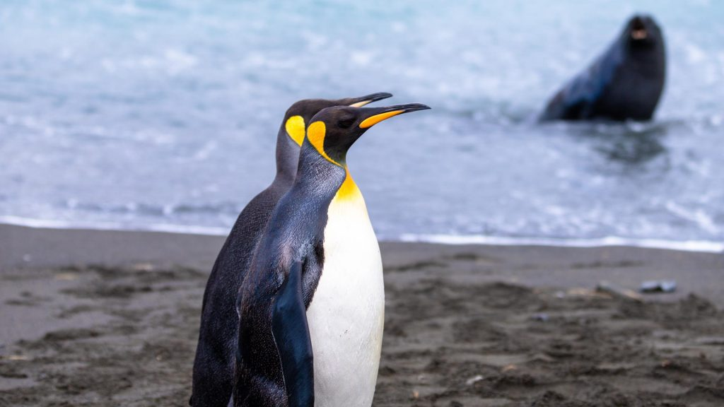 Kaiserpinguine, Antarktis